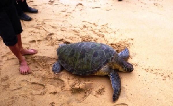 Ngư dân bắt được rùa quý nặng 45 kg ở biển Thừa Thiên Huế - ảnh 1