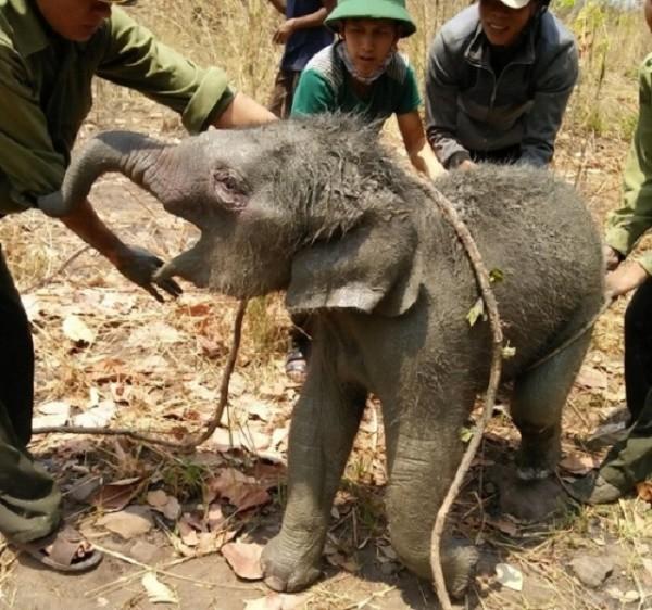 Giải cứu thành công chú voi rừng 2 tháng tuổi bị rơi xuống giếng - ảnh 1