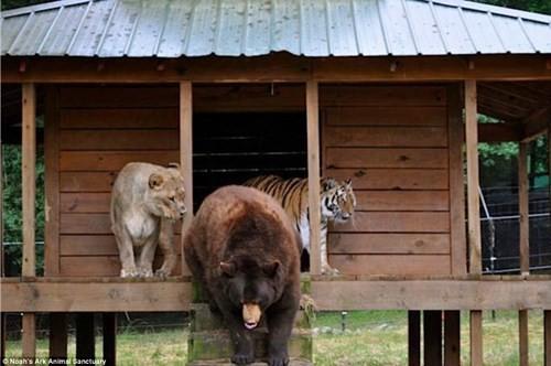 Tình bằng hữu 15 năm đáng ghen tị của hổ, sư tử và gấu - ảnh 4