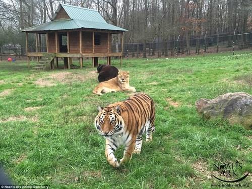 Tình bằng hữu 15 năm đáng ghen tị của hổ, sư tử và gấu - ảnh 6