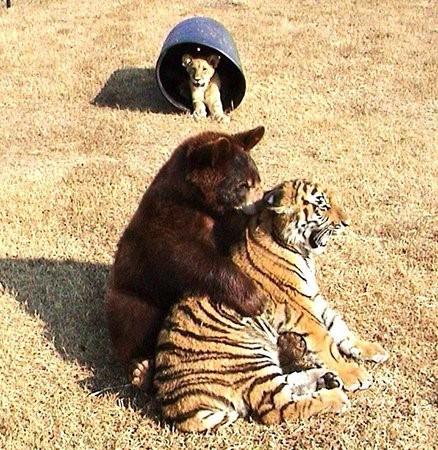 Tình bằng hữu 15 năm đáng ghen tị của hổ, sư tử và gấu - ảnh 7