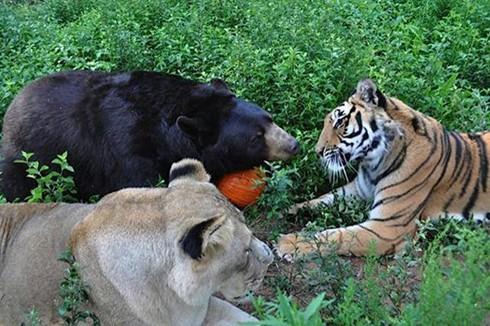 Tình bằng hữu 15 năm đáng ghen tị của hổ, sư tử và gấu - ảnh 2