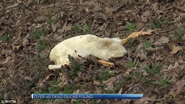 Vịt chết bí ẩn nằm rải rác dọc đường ở Mỹ - ảnh 2
