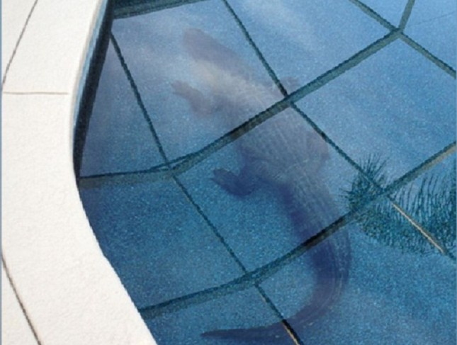 Phát hoảng vì cá sấu hơn 1 tạ nằm chình ình dưới bể bơi - ảnh 1