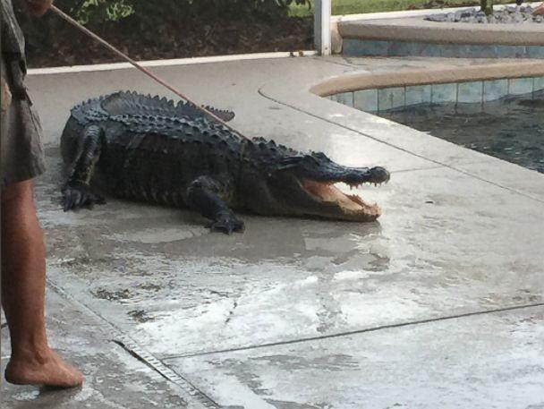 Phát hoảng vì cá sấu hơn 1 tạ nằm chình ình dưới bể bơi - ảnh 2