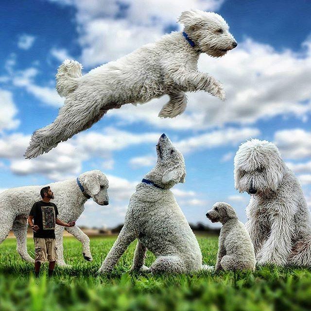 Những con chó khổng lồ đang 'gây bão' trên Instagram - ảnh 9