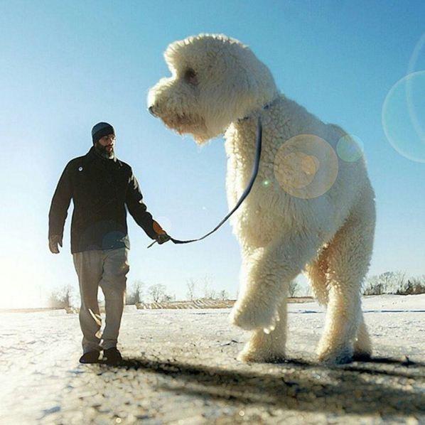 Những con chó khổng lồ đang 'gây bão' trên Instagram - ảnh 13