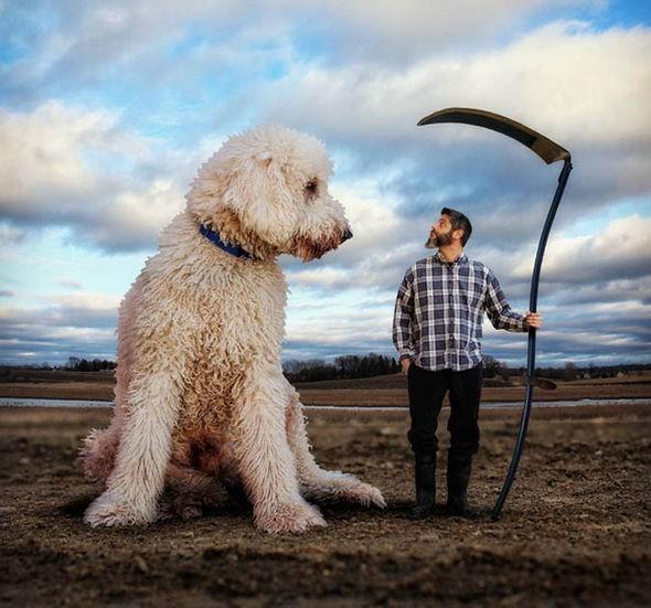 Những con chó khổng lồ đang 'gây bão' trên Instagram - ảnh 3