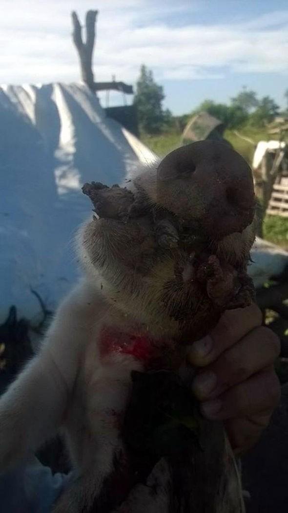 Kỳ lạ đàn lợn con chào đời 8 chân, 2 mõm - ảnh 2