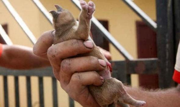 Kỳ lạ đàn lợn con chào đời 8 chân, 2 mõm - ảnh 3