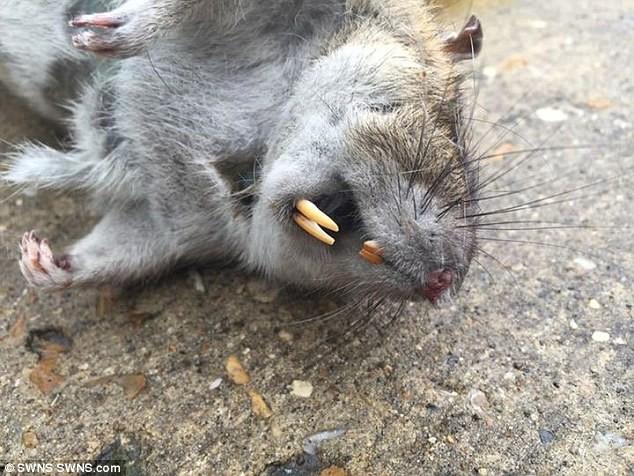 Bắt được chuột khổng lồ dài 60 cm, kích thước như trẻ sơ sinh - ảnh 2