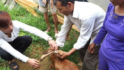 Lạ kỳ con bê 7 chân gây xôn xao ở Nghệ An - ảnh 2