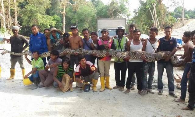 Phát hiện trăn khổng lồ dài nhất thế giới ở Malaysia - ảnh 2