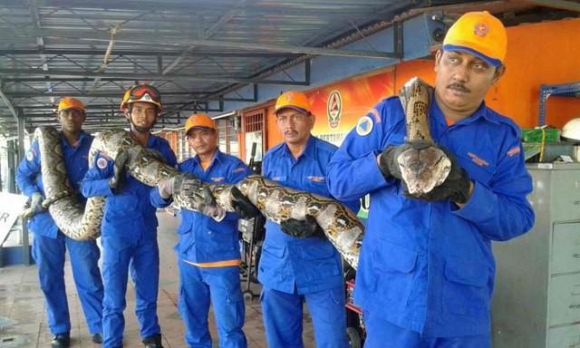 Phát hiện trăn khổng lồ dài nhất thế giới ở Malaysia - ảnh 1