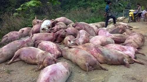 Xác lợn chết tím tái, thâm đen bị dân lấy về ăn? - ảnh 1