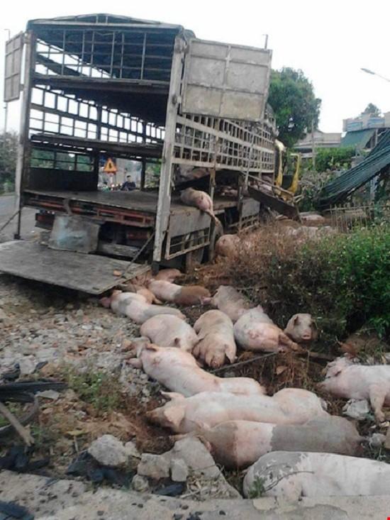 Chùm ảnh: Gần 100 con heo nằm chết la liệt sau vụ tai nạn - ảnh 5