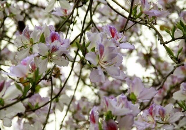 Tháng 4 đến Sốp Cộp mà ăn …hoa ban - ảnh 1