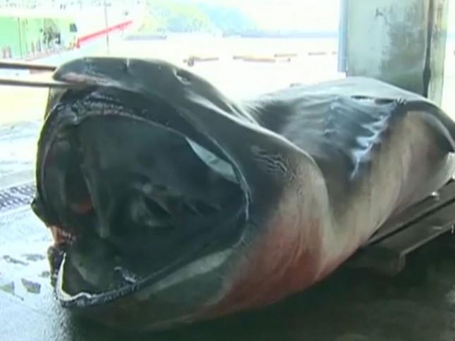 Nhật Bản bắt được cá mập 'ngoài hành tinh' nặng 1 tấn - ảnh 1