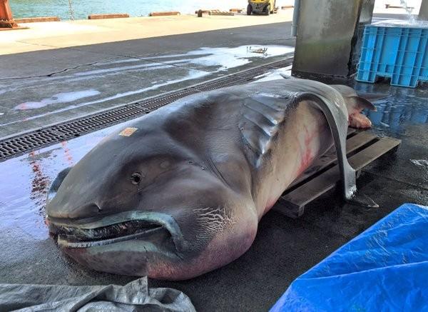 Nhật Bản bắt được cá mập 'ngoài hành tinh' nặng 1 tấn - ảnh 2