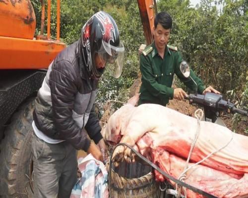 Thu giữ hơn 1 tạ lợn bị tụ huyết trùng chuẩn bị tiêu thụ  - ảnh 1