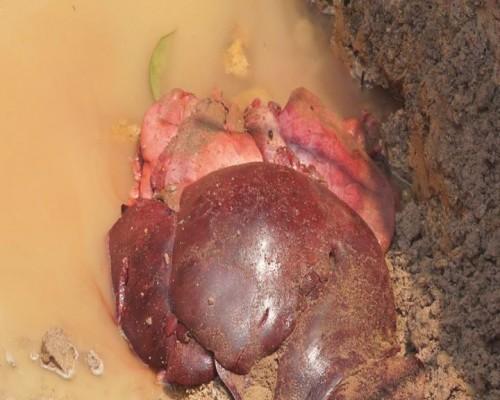 Thu giữ hơn 1 tạ lợn bị tụ huyết trùng chuẩn bị tiêu thụ  - ảnh 3