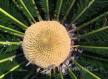 Chiêm ngưỡng hoa của loài cây 'ngàn năm' mới nở - ảnh 1