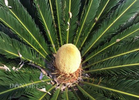 Chiêm ngưỡng hoa của loài cây 'ngàn năm' mới nở - ảnh 2