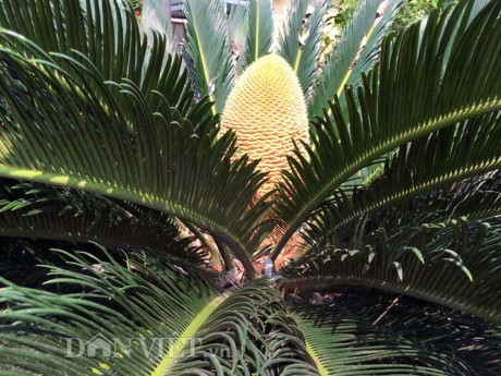 Chiêm ngưỡng hoa của loài cây 'ngàn năm' mới nở - ảnh 6