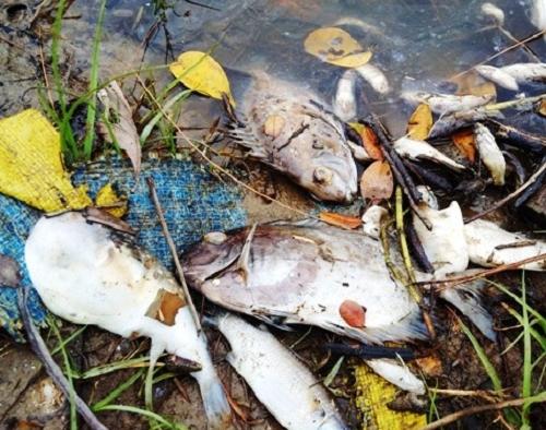 Huế: Hoang mang cảnh cá chết nổi trắng mặt sông  - ảnh 1