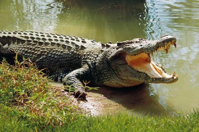 Cá sấu nặng nửa tạ trên sông Soài Rạp đã 'biến mất'? - ảnh 1