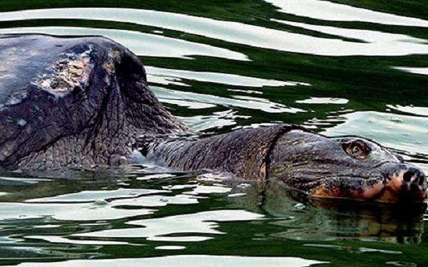 Xác 'Cụ rùa hồ Gươm' được chế tác theo phương pháp nhựa hóa - ảnh 1