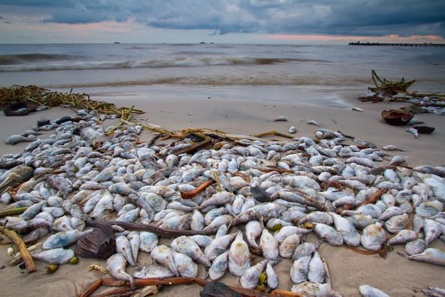 Hiện tượng thủy triều đỏ làm cá chết hàng loạt như thế nào? - ảnh 2
