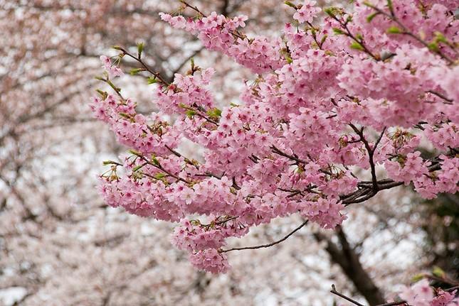 300 cành hoa anh đào Nhật sẽ khoe sắc ở Hoàng Thành Thăng Long - ảnh 1