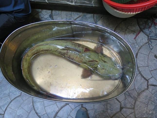 Xẻ thịt cá lăng sông Đà 1,5 mét: Đại gia làm bữa nhậu - ảnh 1