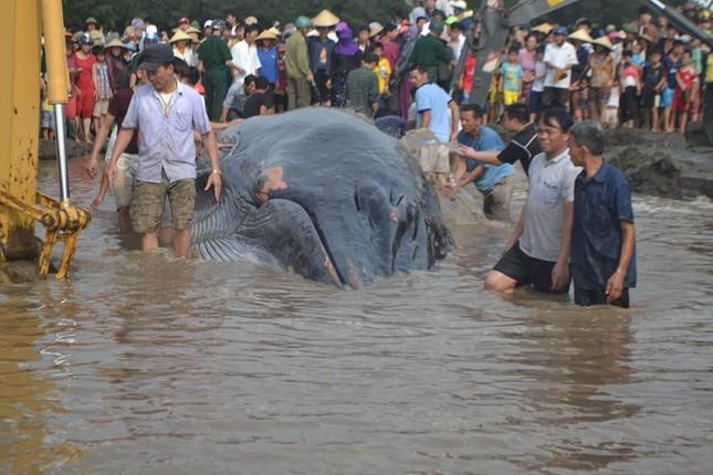 Giải cứu cá voi khổng lồ mắc kẹt ở bờ biển Nghệ An - ảnh 1
