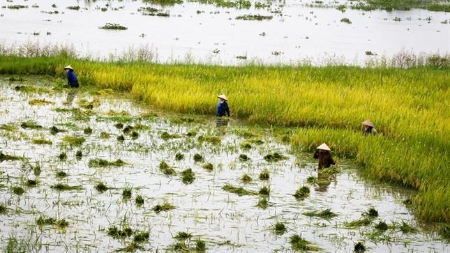 Ninh Bình huy động tổng lực giúp dân gặt lúa chìm trong biển nước - ảnh 2