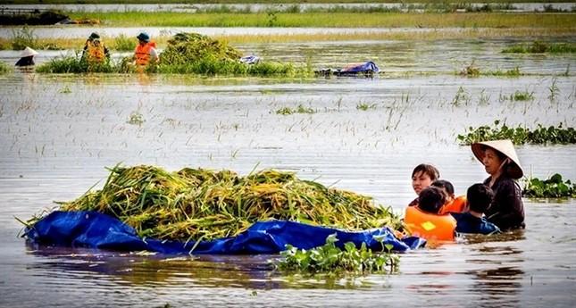 Ninh Bình huy động tổng lực giúp dân gặt lúa chìm trong biển nước - ảnh 4