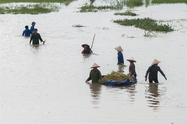 Ninh Bình huy động tổng lực giúp dân gặt lúa chìm trong biển nước - ảnh 8