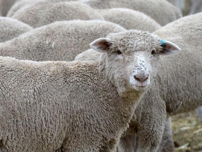 Bầy cừu làm loạn vì... phê thuốc phiện khiến dân làng hoang mang - ảnh 1