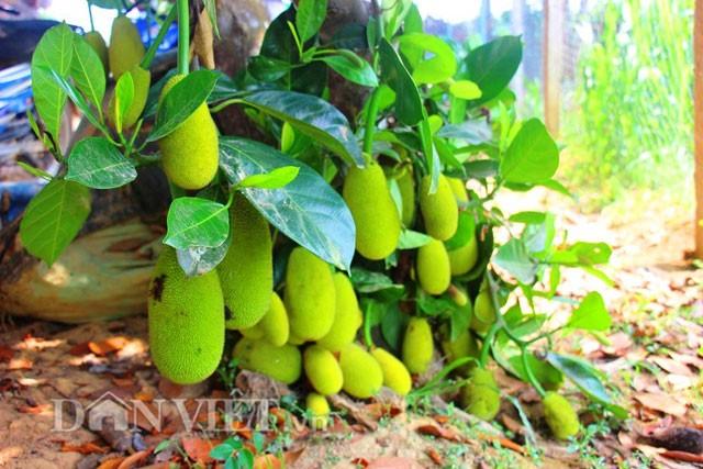 'Sướng đời' có được cây mít tố nữ 300 trái mọc chi chít tận gốc - ảnh 2