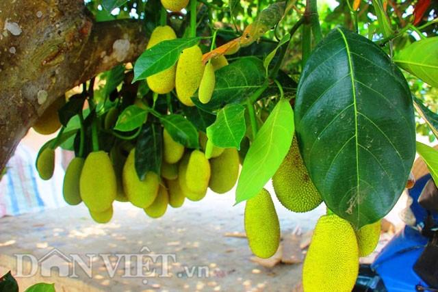 'Sướng đời' có được cây mít tố nữ 300 trái mọc chi chít tận gốc - ảnh 3