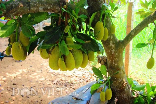 'Sướng đời' có được cây mít tố nữ 300 trái mọc chi chít tận gốc - ảnh 4