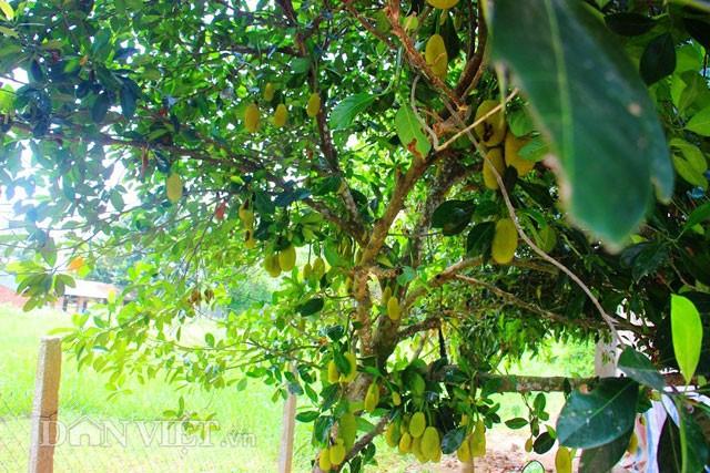 'Sướng đời' có được cây mít tố nữ 300 trái mọc chi chít tận gốc - ảnh 5