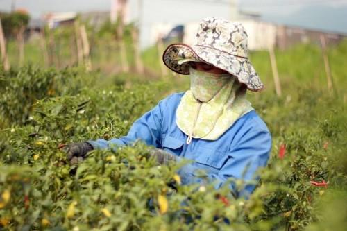 Trung Quốc mua ớt với giá cao kỷ lục, bà con vừa mừng vừa lo - ảnh 1