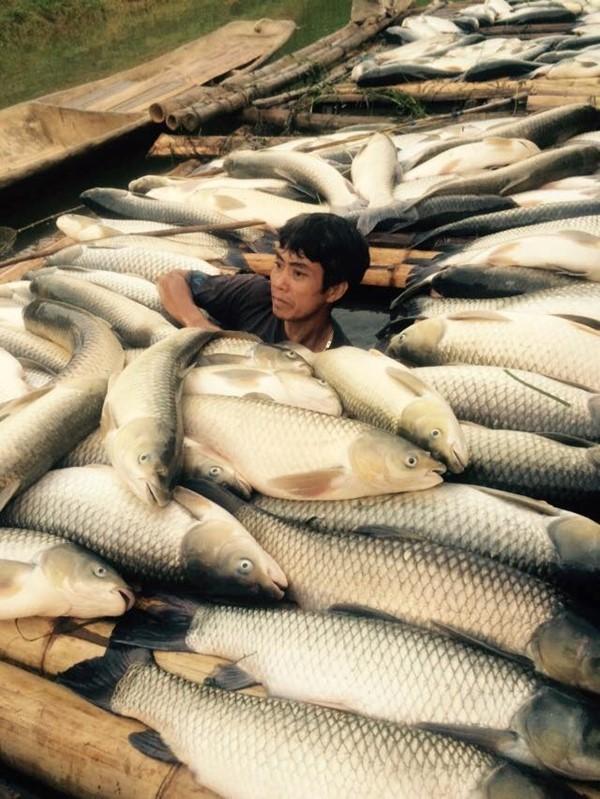 Cá chết trên sông Bưởi: Lợn ăn chết, người ăn đau bụng - ảnh 1