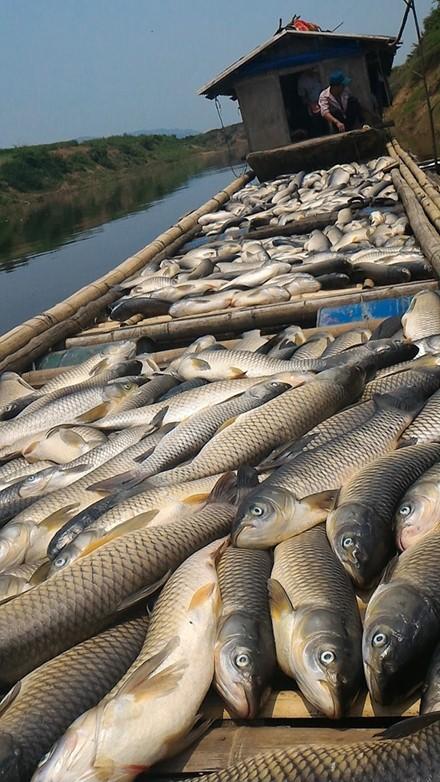 Cá chết trên sông Bưởi: Lợn ăn chết, người ăn đau bụng - ảnh 2
