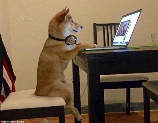 Chó Shiba gây sốt với dáng ngồi xem tivi giống hệt con người - ảnh 1