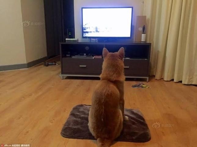 Chó Shiba gây sốt với dáng ngồi xem tivi giống hệt con người - ảnh 2