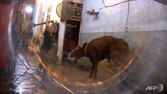 Cảnh giết bò Australia ở Việt Nam bị phản ứng vì quá tàn bạo - ảnh 1