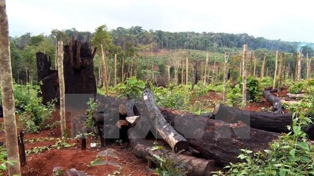 'Con đường xanh Tây Nguyên' thành điểm nóng… phá rừng - ảnh 1
